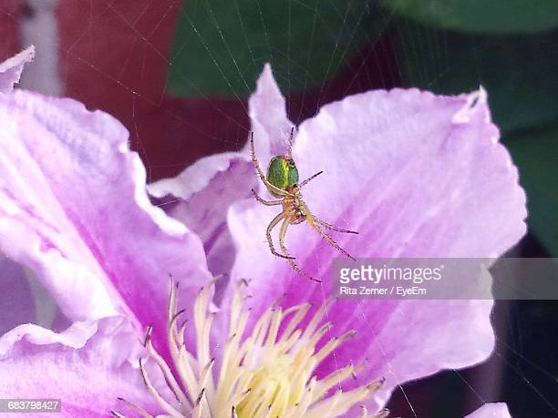 Close-Up Of Spider Over Purple Flower Blooming Outdoors