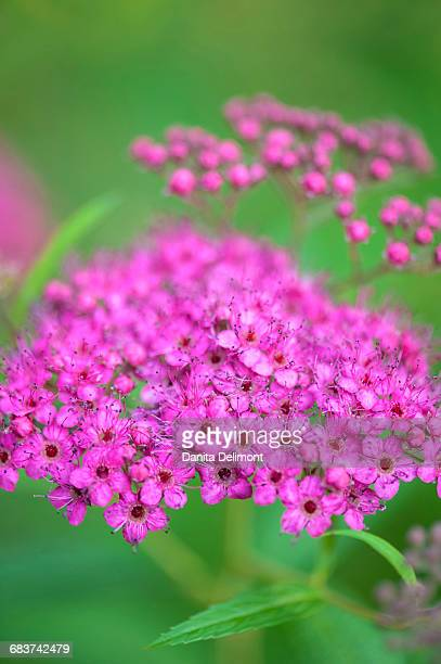 Close-up of Spiraea, Reading, Massachusetts, New England, USA