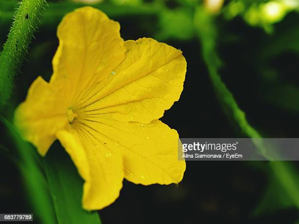 Close-Up Of Squash Blossom Blooming In Vegetable Garden