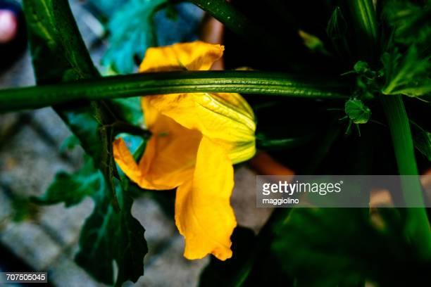 Close-Up Of Squash Blossom Flower