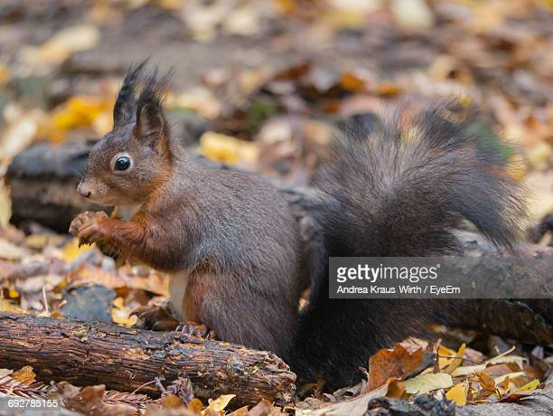 Close-Up Of Squirrel By Dried Leaves On Field