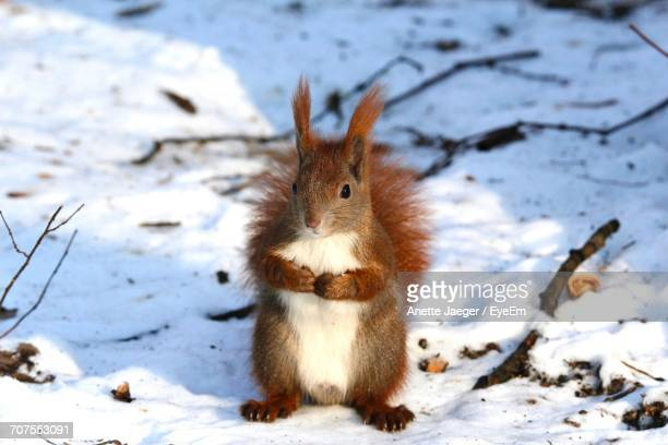 Close-Up Of Squirrel In Winter