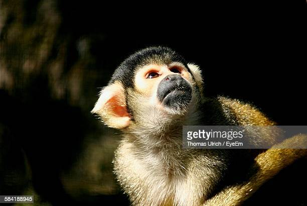 Close-Up Of Squirrel Monkey Looking Up