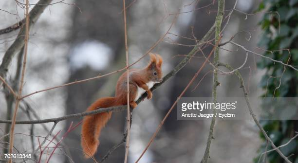 Close-Up Of Squirrel Perching On Branch