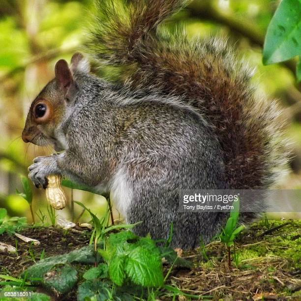 Close-Up Of Squirrel With Peanut On Field