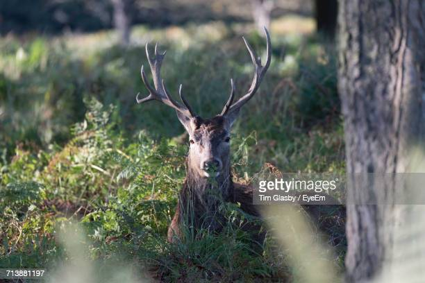 Close-Up Of Stag Looking At Camera