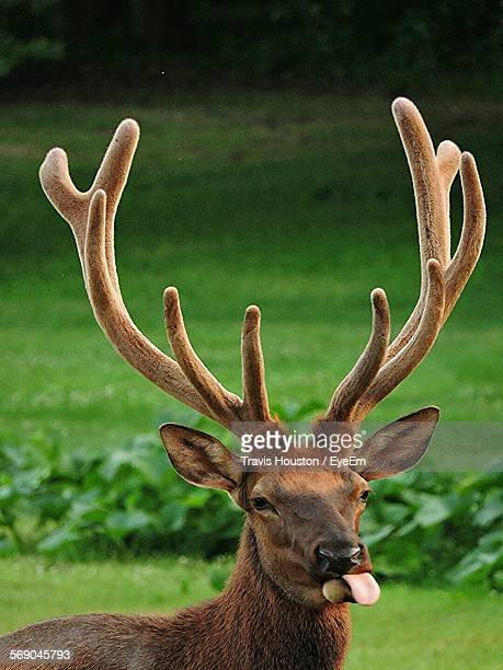 Close-Up Of Stag Sticking Out Tongue Standing On Grassy Field