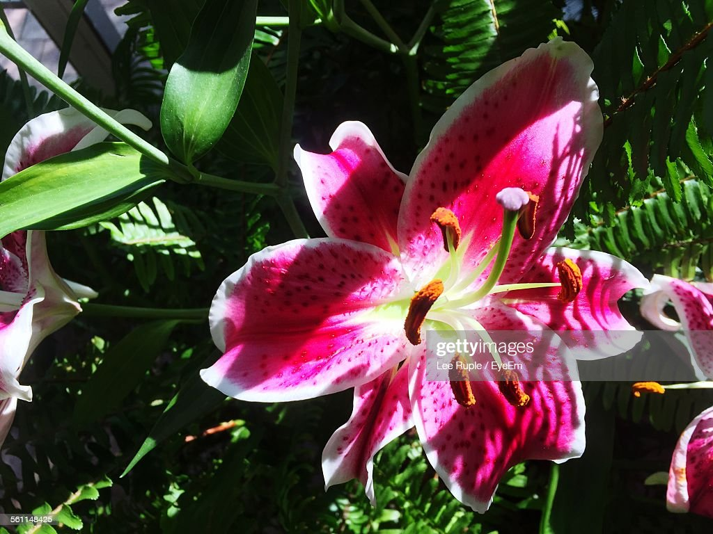 Close-Up Of Stargazer Lily Outdoors