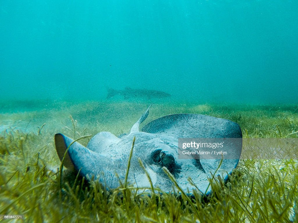 Close-Up Of Sting Ray In Seabed