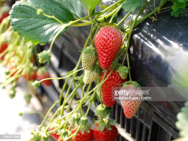 Close-Up Of Strawberries Growing At Farm