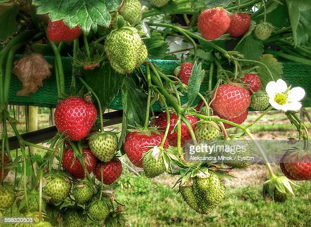 Close-Up Of Strawberries On Plant