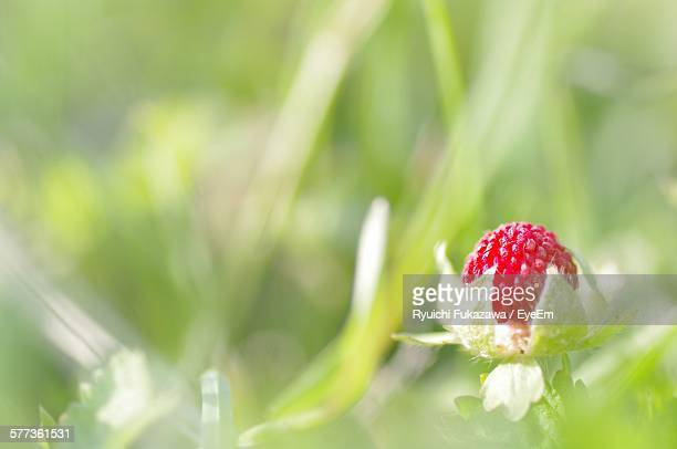 Close-Up Of Strawberry Growing On Field