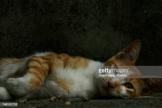 Close-Up Of Stray Cat Lying Down