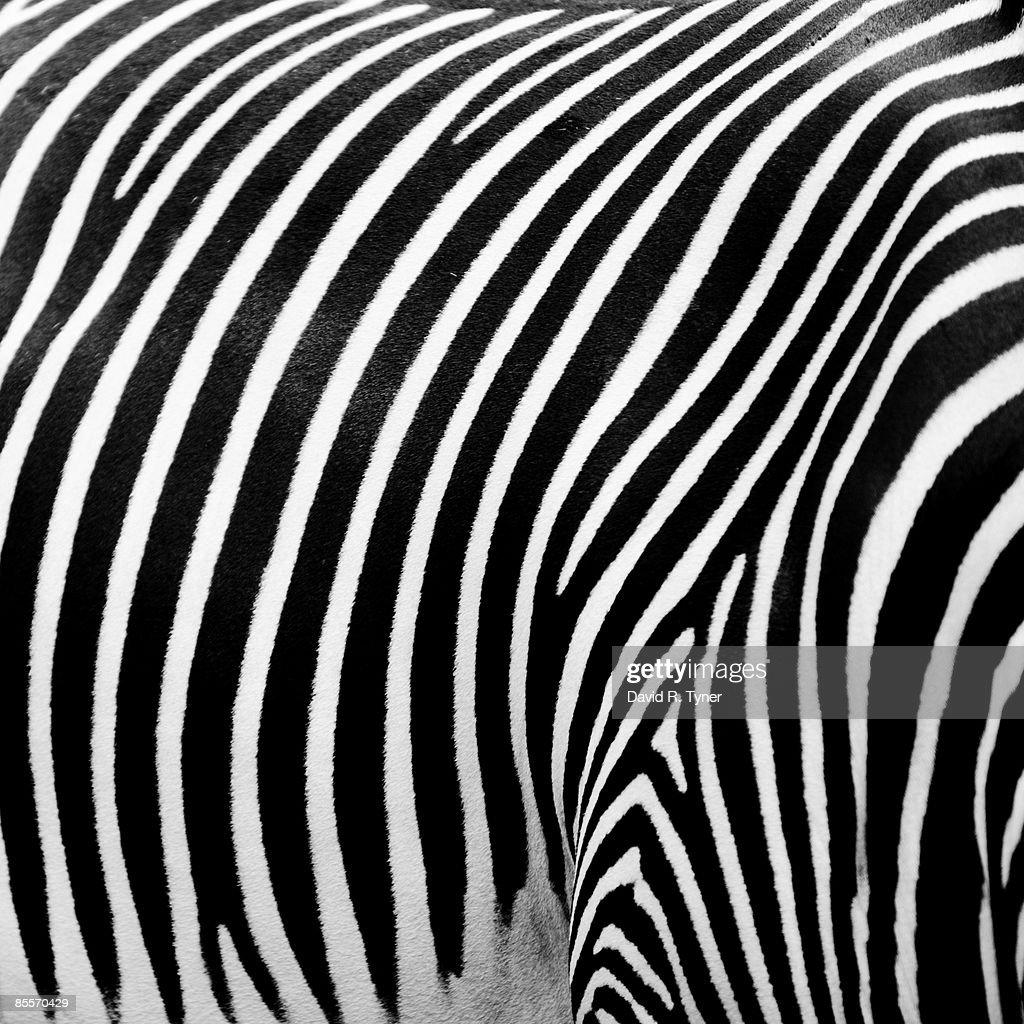 Close-up of striped Zebra