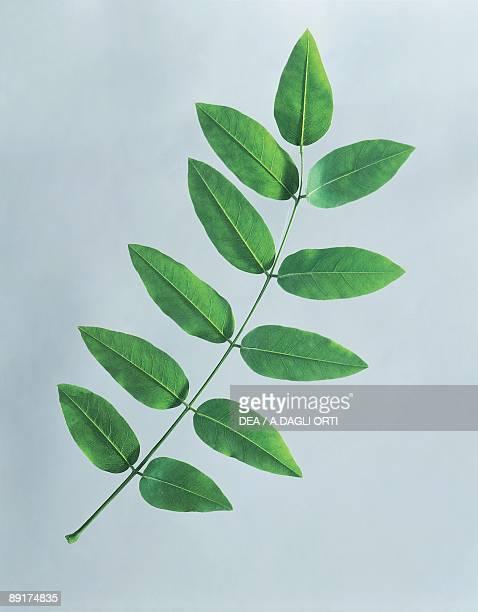 Closeup of Styphnolobium leaves