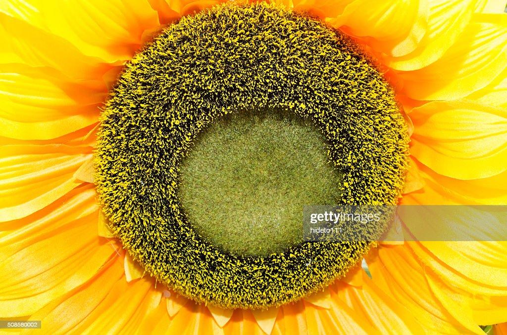 close-up of sunflower. : Stockfoto