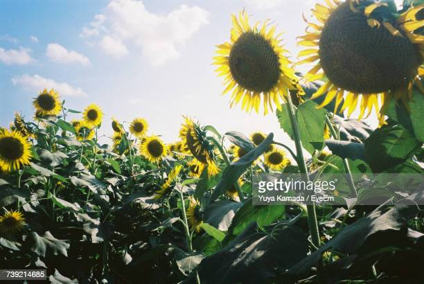 Close-Up Of Sunflowers Blooming On Field Against Sky