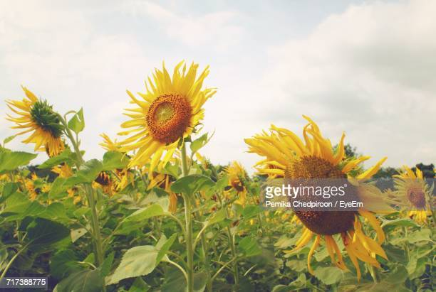 Close-Up Of Sunflowers Growing In Field Against Sky