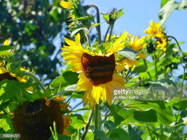 Close-Up Of Sunflowers Growing On Plant Against Sky