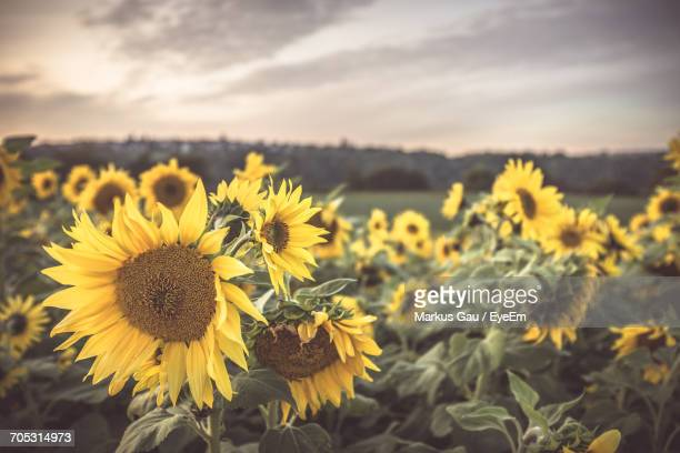 Close-Up Of Sunflowers In Field