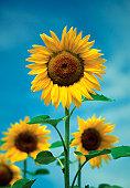 Close-up of Sunflowers, Kansas, USA