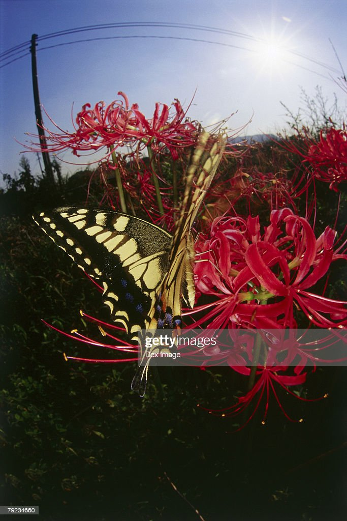 Close-up of Swallowtail Butterfly on flower : Stock Photo