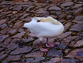 Close-Up Of Swan Standing On Rock