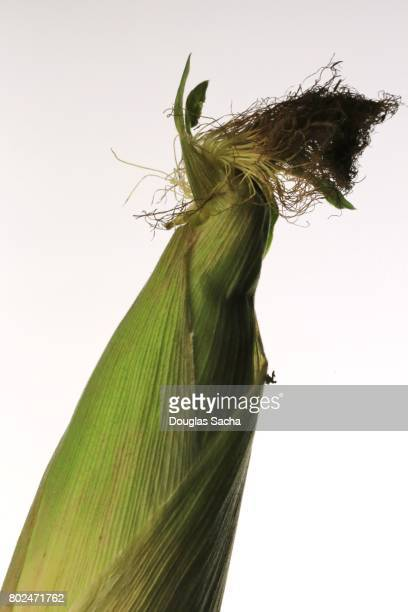Close-up of Sweet Corn on a white background (zea mays)