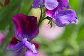 Bright and vibrant close-up of Sweet Pea flowers.