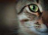 Closeup of tabby cat face. Fauna background