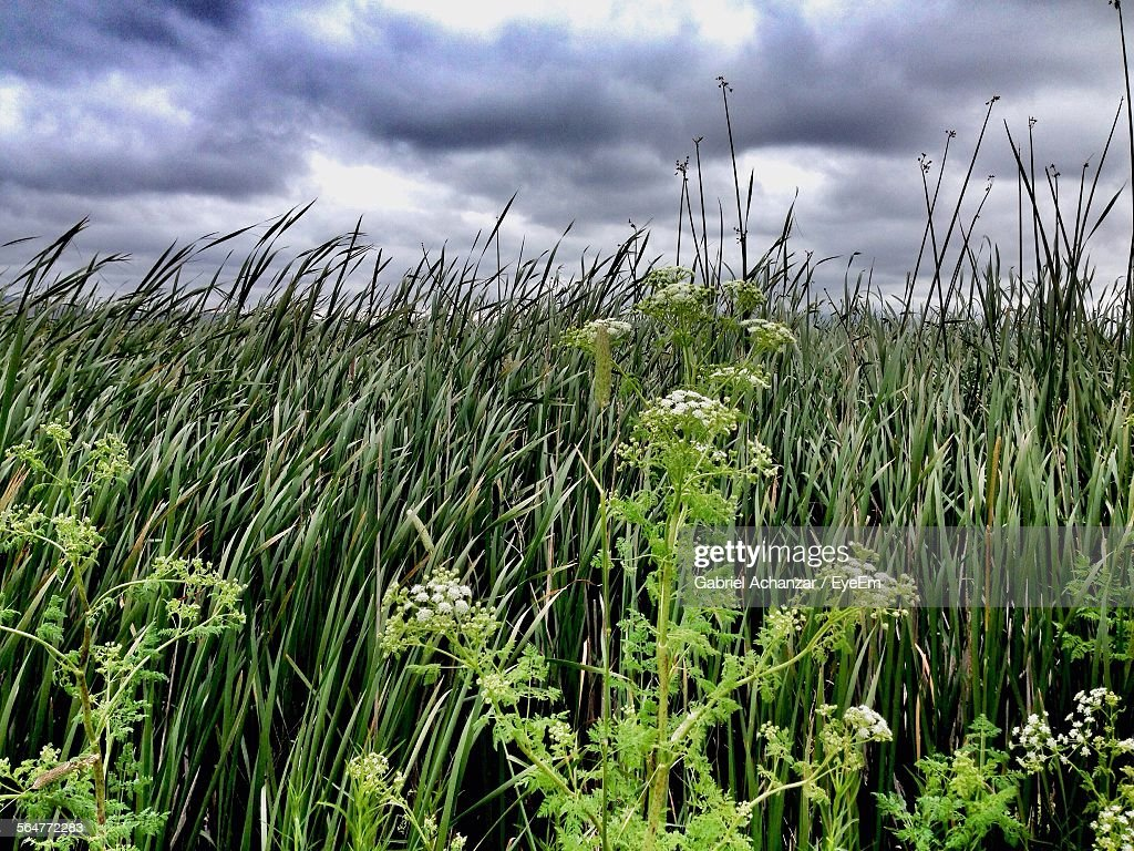 Close-Up Of Tall Grass Growing In Field Against Cloudy Sky