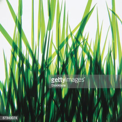 close-up of tall grass : Stock Photo
