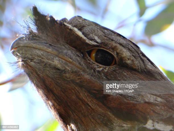 Close-up of tawny frog mouth owl