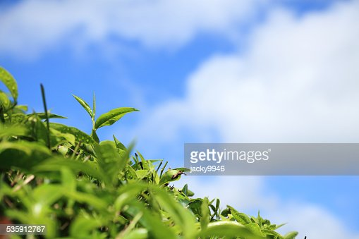 Close-up of tea leaves : Stock Photo