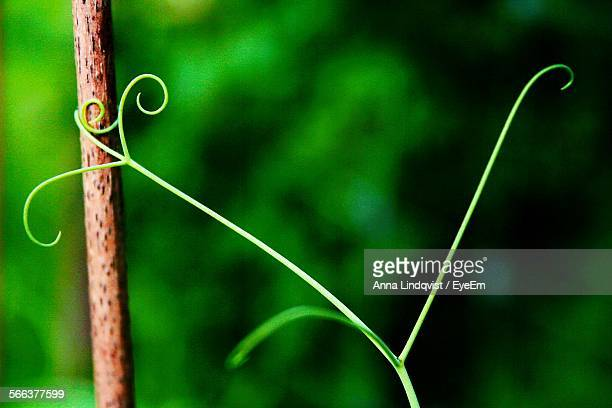 Close-Up Of Tendril And Stem