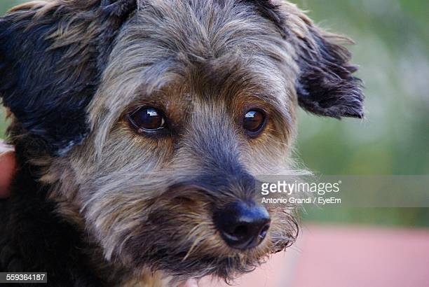 Close-Up Of Terrier Sitting Looking Away Outdoors