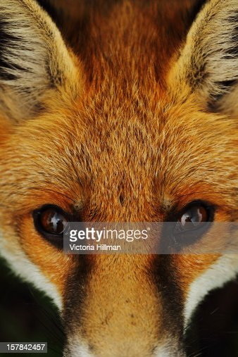 Closeup Of The Face Of A Red Fox Stock Photo   Getty Images