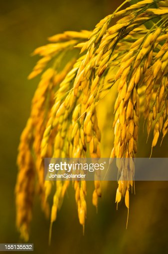 Close-up of the golden grains of a rice plant