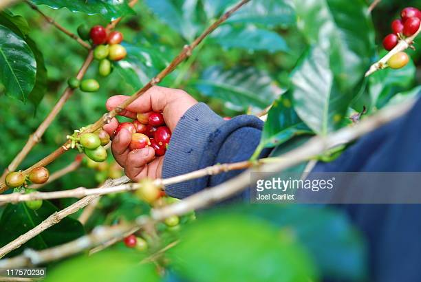 Picking Coffee Beans