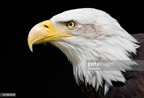 Close-up of the head of a bald eagle on a black background