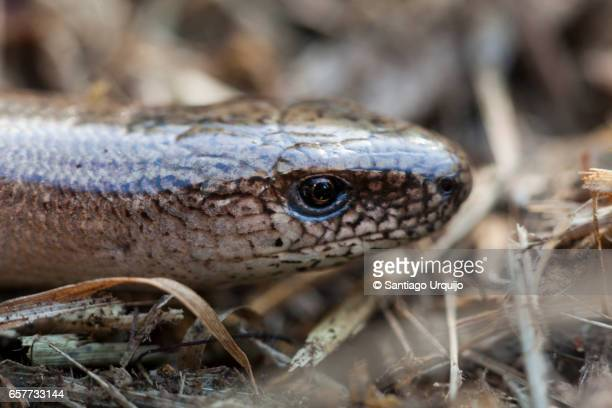 Close-up of the head of a slow worm