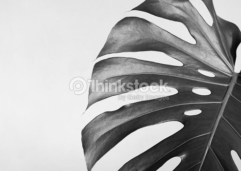 closeup of the monstera leaf abstract composition black and white
