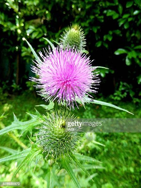 Close-up of the purple Mediterranean thistle or Syrian thistle
