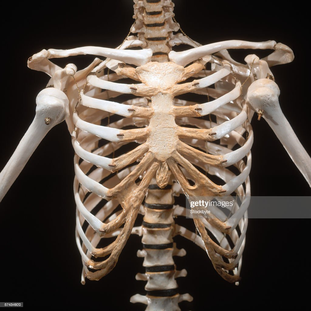 close-up of the skeletal bones of a human chest area : Stock Photo