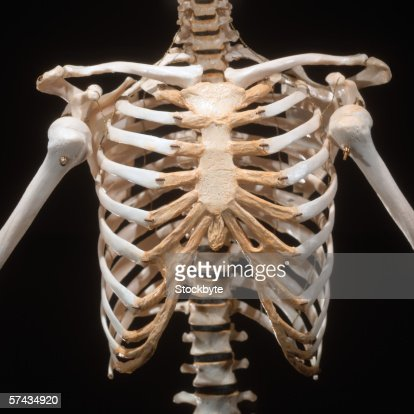 closeup of the skeletal bones of a human chest area stock photo, Skeleton