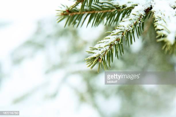 Branche de sapin sous la neige