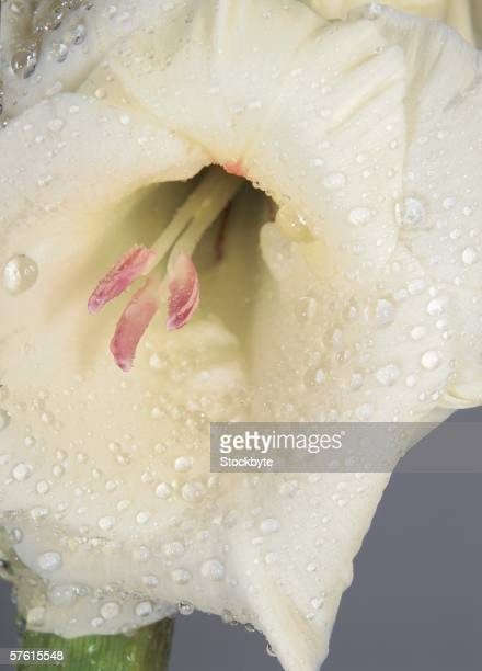 close-up of the stamens in a wet white flower