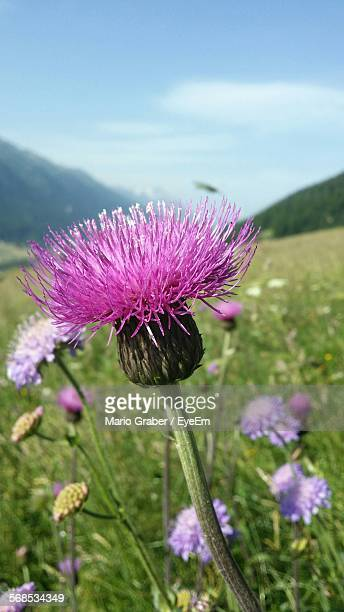 Close-Up Of Thistle Flowers Growing On Field Against Sky