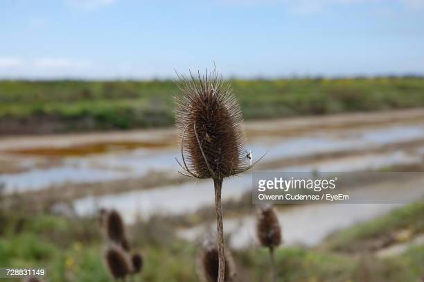 Close-Up Of Thistle On Field Against Sky
