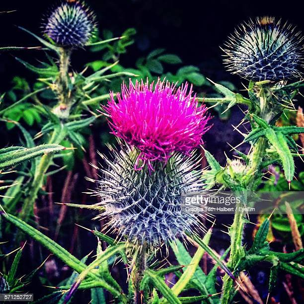 Close-Up Of Thistles With Buds Growing Outdoors